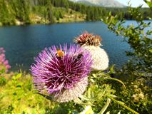 Τεράστιος άνθισε κάρδος Cyclamen με τις μέλισσες και τη λίμνη στοκ φωτογραφίες με δικαίωμα ελεύθερης χρήσης