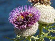 Τεράστιος άνθισε κάρδος Cyclamen με τις μέλισσες στοκ φωτογραφία με δικαίωμα ελεύθερης χρήσης