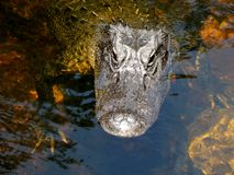 Τεράστιος αλλιγάτορας στο Everglades Στοκ Εικόνες