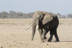 Τεράστιος αρσενικός αφρικανικός ελέφαντας που περπατά μέσω μιας ξηράς επιλογής σαβανών Στοκ Εικόνες