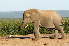 Τεράστιος αφρικανικός ελέφαντας του Μπους Στοκ φωτογραφία με δικαίωμα ελεύθερης χρήσης