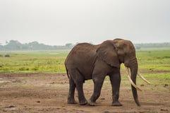 Τεράστιος ελέφαντας στο ίχνος στη σαβάνα Amboseli Στοκ Εικόνα