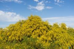 Mimosa στοκ φωτογραφίες