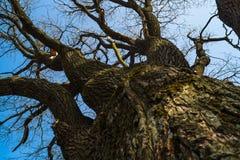 Τεράστιος κορμός και άφυλλοι κλάδοι του αρχαίου δρύινος-δέντρου την πρώιμη άνοιξη Στοκ Φωτογραφία