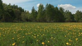 Τεράστιος τομέας πικραλίδων πανοράματος ατελείωτος ανθίζοντας και απόμακρο δάσος κάτω από τον εικονογραφικό ουρανό με τα bouffant απόθεμα βίντεο