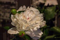 Τεράστιος όμορφος άσπρος peony στοκ φωτογραφίες