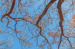 Τεράστιο δέντρο, κλάδοι έξω προς όλες τις κατευθύνσεις, μπλε ουρανός, άποψη από το β στοκ φωτογραφία με δικαίωμα ελεύθερης χρήσης