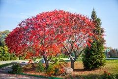Τεράστιο δέντρο με τα κόκκινα φύλλα πορτοκαλιά δέντρα λιβαδιών φύλλων σημύδων φθινοπώρου Στοκ Εικόνες
