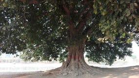τεράστιο δέντρο Στοκ φωτογραφίες με δικαίωμα ελεύθερης χρήσης
