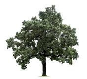 τεράστιο απομονωμένο δέντ&r Στοκ φωτογραφίες με δικαίωμα ελεύθερης χρήσης