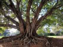 Τεράστιο αυστραλιανό δέντρο Στοκ φωτογραφία με δικαίωμα ελεύθερης χρήσης
