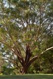 Τεράστιο δέντρο ευκαλύπτων στο πάρκο Στοκ Φωτογραφίες