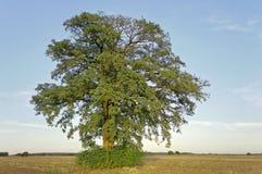 Τεράστιο θερινό δέντρο μόνο οριζόντιο Στοκ εικόνες με δικαίωμα ελεύθερης χρήσης