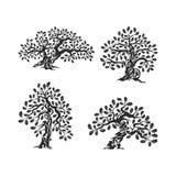 Τεράστιο και ιερό δρύινο λογότυπο σκιαγραφιών δέντρων που απομονώνεται στο άσπρο υπόβαθρο Στοκ Εικόνες