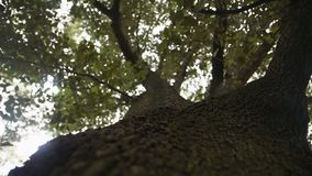 Τεράστιο παλαιό δέντρο με μια πράσινη κορώνα απόθεμα βίντεο