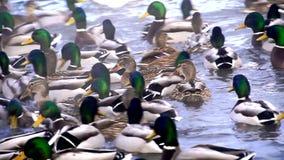 Τεράστιο ποσό των παπιών στη λίμνη απόθεμα βίντεο