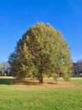Τεράστιο στρογγυλό ενιαίο δέντρο σε ένα λιβάδι το φθινόπωρο στοκ εικόνες