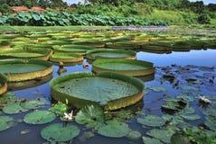 Τεράστιο φύλλο Lotus Στοκ φωτογραφία με δικαίωμα ελεύθερης χρήσης