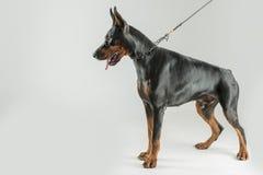 Τεράστιο doberman σκυλί που στέκεται και που κοιτάζει κάτω θέτοντας Στοκ φωτογραφίες με δικαίωμα ελεύθερης χρήσης