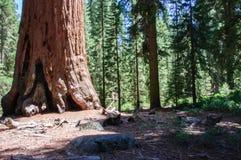 Τεράστιο sequoia Sequoia στο εθνικό πάρκο, Καλιφόρνια ΗΠΑ Στοκ φωτογραφίες με δικαίωμα ελεύθερης χρήσης