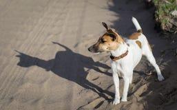 Τεριέ αλεπούδων ένα νέο σκυλί, στη φύση στοκ εικόνες