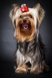 τεριέ Γιορκσάιρ πορτρέτου Στοκ φωτογραφίες με δικαίωμα ελεύθερης χρήσης