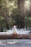 Τεριέ γρύλων σκυλιών russel υπαίθρια στο δασικό, ευτυχής Στοκ φωτογραφία με δικαίωμα ελεύθερης χρήσης