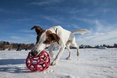 τεριέ εφημερίων σκυλιών Στοκ Εικόνες