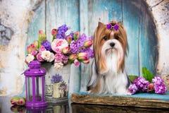Τεριέ και λουλούδια Biewer Γιορκσάιρ σκυλιών Στοκ Εικόνες