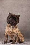 τεριέ πορτρέτου σκυλιών τύ Στοκ Εικόνες