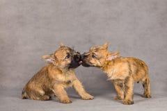 τεριέ σκυλιών ζευγών τύμβων Στοκ Εικόνες