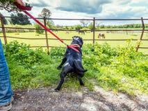 Τεριέ ταύρων Staffordshire που τραβά σε ένα λουρί που εξετάζει το άλογο στοκ φωτογραφία με δικαίωμα ελεύθερης χρήσης