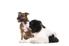 Τεριέ ταύρων Staffordshire στούντιο σκυλιών κουταβιών landseer Στοκ εικόνα με δικαίωμα ελεύθερης χρήσης