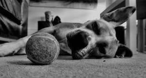 Τεριέ ταύρων Staffordshire τεριέ σκυλιών Στοκ εικόνες με δικαίωμα ελεύθερης χρήσης