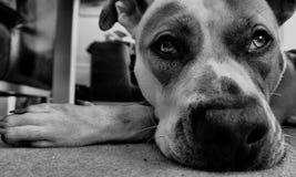 Τεριέ ταύρων Staffordshire τεριέ σκυλιών Στοκ Εικόνες