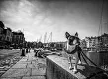 Τεριέ της Βοστώνης στο λιμένα Στοκ φωτογραφία με δικαίωμα ελεύθερης χρήσης