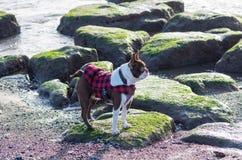 Τεριέ της Βοστώνης Στοκ φωτογραφίες με δικαίωμα ελεύθερης χρήσης