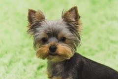 Τεριέ του Γιορκσάιρ, πορτρέτο ενός νέου σκυλιού Στοκ εικόνες με δικαίωμα ελεύθερης χρήσης