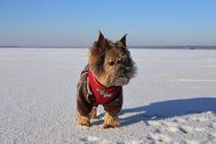 Τεριέ του Γιορκσάιρ στα φωτεινά χειμερινά ενδύματα στον πάγο μια ηλιόλουστη ημέρα Στοκ φωτογραφία με δικαίωμα ελεύθερης χρήσης