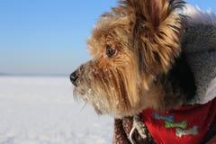 Τεριέ του Γιορκσάιρ στα φωτεινά χειμερινά ενδύματα στον πάγο μια ηλιόλουστη ημέρα Στοκ Φωτογραφίες