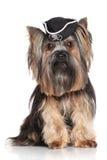 Τεριέ του Γιορκσάιρ στο καπέλο πειρατών καρναβαλιού Στοκ Φωτογραφίες