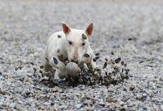 Τεριέ του Bull που γλιστρά μέσα τους βράχους για τη σφαίρα Στοκ εικόνες με δικαίωμα ελεύθερης χρήσης