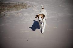 Τεριέ του Jack Russel στην παραλία στη Ναμίμπια Στοκ εικόνες με δικαίωμα ελεύθερης χρήσης