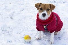 Τεριέ του Jack Russell σκυλιών με μια κίτρινη σφαίρα στον περίπατο το χειμώνα Στοκ Εικόνες