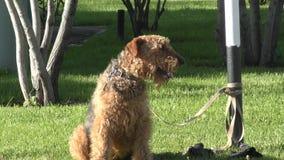 Τεριέ Airedale φυλής σκυλιών απόθεμα βίντεο