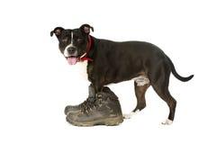 Τεριέ Staffordshire Bull που φορά τις μπότες περπατήματος στοκ φωτογραφία με δικαίωμα ελεύθερης χρήσης