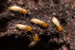τερμίτες ή άσπρα μυρμήγκια Στοκ Εικόνες
