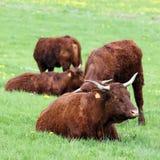 τετράγωνο αγελάδων Στοκ εικόνα με δικαίωμα ελεύθερης χρήσης