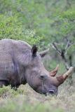 Τετραγωνικός-χειλικός ρινόκερος (simum Ceratotherium) Στοκ Φωτογραφίες