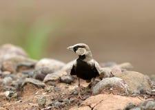 Τεφρώδης που στέφεται lark στοκ φωτογραφίες με δικαίωμα ελεύθερης χρήσης